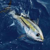 Blackfin Tuna Bait